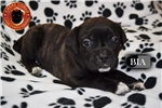 Picture of 4 Weeks Old! Cane Corso Pups Now Available To View