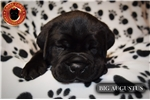 Picture of Majestic Cane Corso Pups Now Available To View