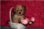 Picture of Abby Shorkie Female