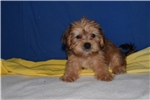 Picture of Kendrick Shorkie Male