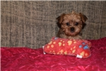 Picture of Miley Shorkie Female
