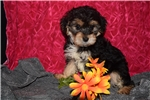 Picture of Zoey Yorkie-Poo Female