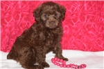 Picture of Roxy Yorkie Poo Female