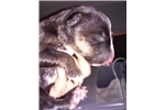 Picture of Miniature Bull Terrier Puppies (male)
