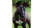 Picture of AKC Miniature Bull Terriers (Puppies)