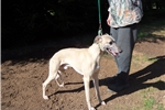 Whippet for sale