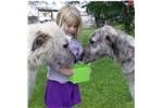 Picture of  pure Irish Wolfhound puppy