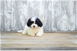 Teddy Bear Puppy For Sale! | Puppy at 13 weeks of age for sale