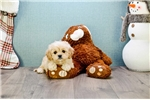 Picture of Female Cava Chon Puppy is for sale!!