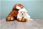 Picture of Maltese Puppy For Sale