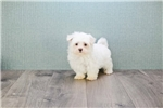 Picture of Maltese puppy is for sale!