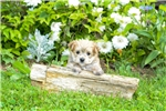 Picture of Morkie Puppy for sale!!