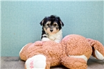 Picture of Morkie Puppy For Sale