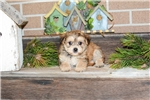 Picture of Morkie Puppy For Sale!