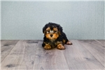 Picture of Female Yorkshire Terrier Puppy