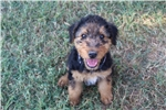 Airedale Terrier for sale