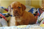 Picture of Maggie-Female-WWW.MYLITTLEPUPPY.COM