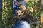 Picture of Violet-Min Pin-Female-WWW.MYLITTLEPUPPY.COM