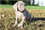 Picture of Roo-Male-Weimaraner-WWW.MYLITTLEPUPPY.COM