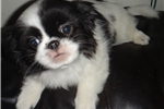 Picture of 12 week old japanese chin