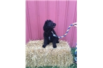 Female English Shepadoodle | Puppy at 13 months of age for sale