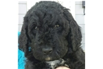 Picture of F1b Female Goldendoodle