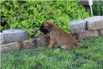 Bullmastiffs for sale