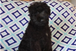 Kerry Blue Terrier for sale