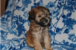 Picture of Mini Whoodle Pup-Will Be 15 lbs When Grown