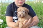 Picture of Rare Blue Eyed Wheaten Pup!
