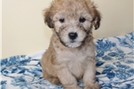 Picture of So Cute & Cuddly, He Reminds You of a Teddy Bear!!