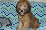 Wheaten Colored Standard Whoodle Puppy | Puppy at 12 weeks of age for sale