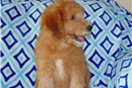 Orange Colored Standard Whoodle Puppy | Puppy at 12 weeks of age for sale