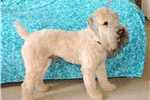 Picture of Amazingly Gentle Female Standard Whoodle Puppy!