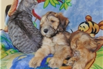 Picture of Wheaten Colored Standard Whoodle Puppy