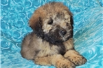 Picture of Gorgeous Wheaten Colored Mini Whoodle Pup!