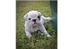 Picture of AKC English Bulldog For Sale
