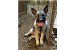 Brit - ready NOW! | Puppy at 16 weeks of age for sale
