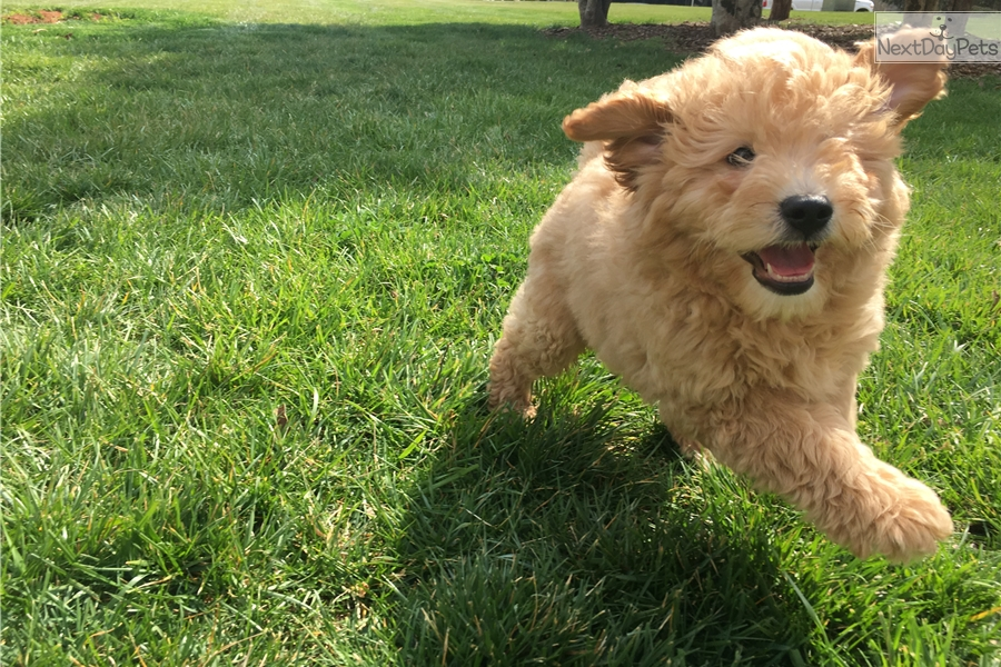Poodle Mix 20 To 30 Pounds | Dog Breeds Picture