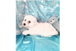 Picture of Frosty Male Bichon Frise Puppy
