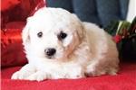 Picture of Samson Male Bichon Frise Puppy