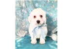 Picture of Crispin Male Bichon Frise Puppy