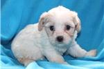 Picture of Melody Female Cavachon Puppy