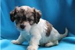 Picture of Blaze Male Cavachon Puppy