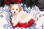 Picture of Ripple Male Cavachon Puppy