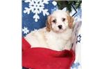 Picture of Riley Male Cavachon Puppy