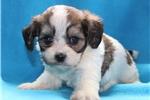 Picture of Stella Female Cavachon Puppy