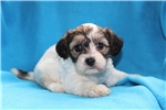 Picture of Amelia Female Cavachon Puppy