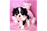 Picture of Kitty Female Cavalier King Charles Spaniel Puppy