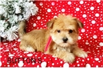 Picture of Buttons Male Teacup Morkie Puppy